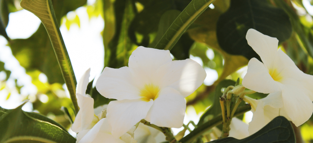 Close up of blooming frangipani flowers.